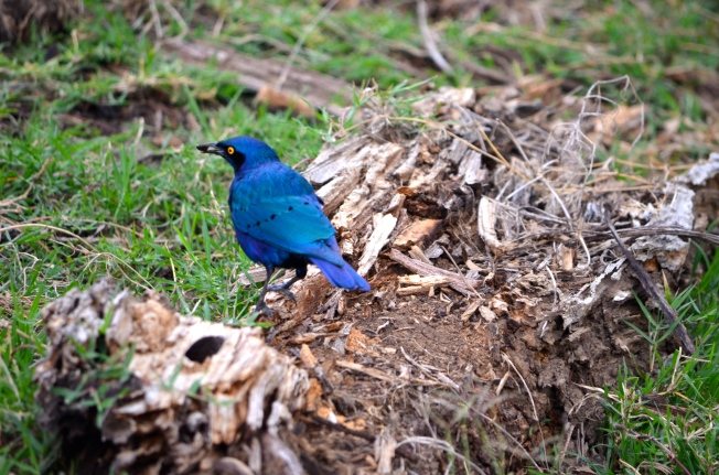 The blueist bird I've ever seen!